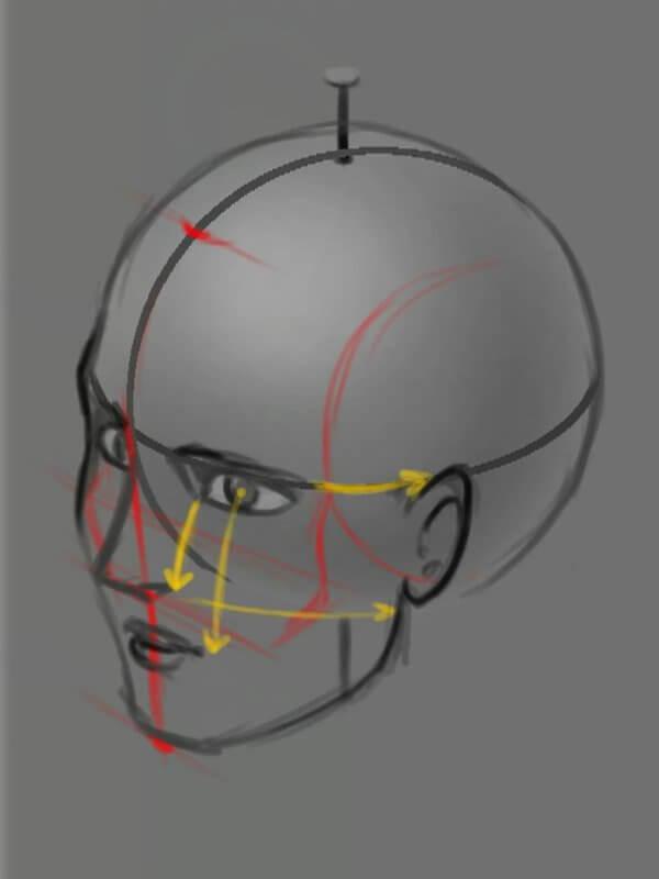 Соотношения в пропорциях головы