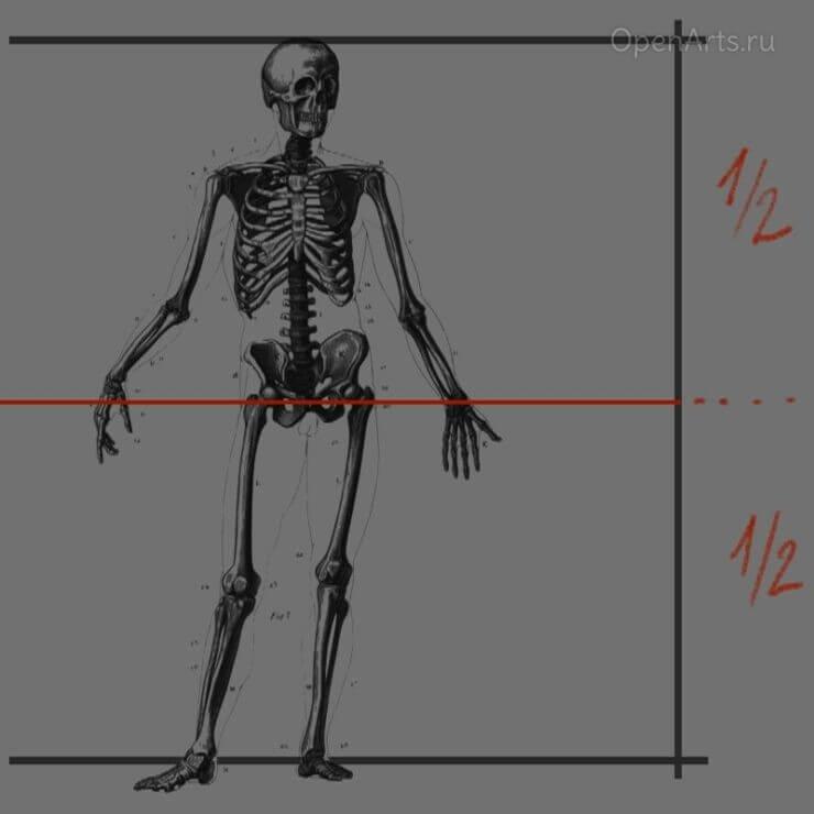 Разделим отрезок пополам, определив тем самым расположение гениталий