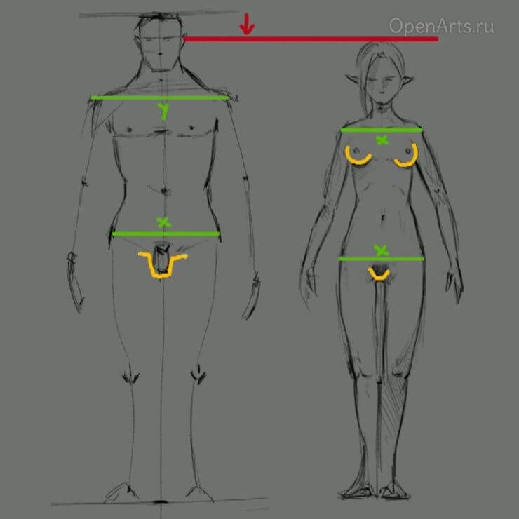 Различия в ширине плеч и бедер у мужчин и женщин